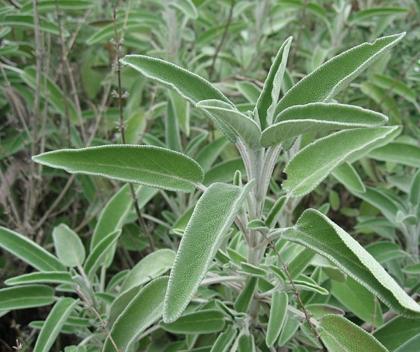 Salvija  (salvia officinalis)
