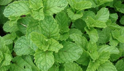 Piparmētra (mentha viridis.L)
