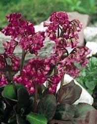 `Magic Giant` (bergenia crassifolia)