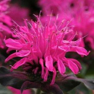 Balmy Pink`(monarda didyma),  dvīņziedu monarda