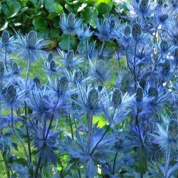 `Superbum` Eryngium alpinum
