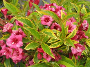 `Brigela`(French Lace) (weigela florida)