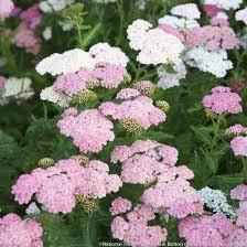 achilea millefolium –parastais p
