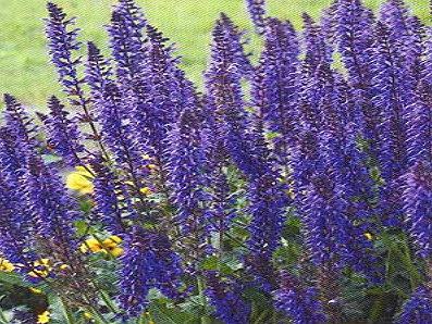 ` Dwarf Blue Queen`   salvia sylvestris