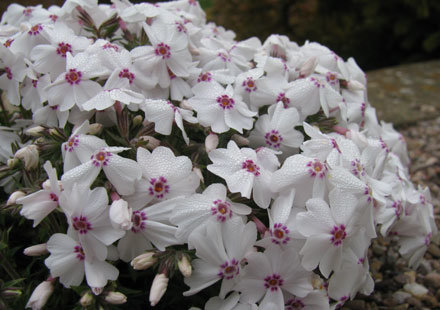 ` Amazing Grace` (phlox subulata)