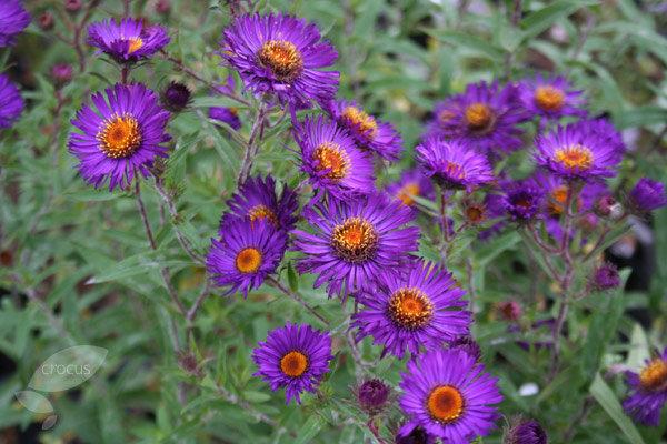 Violetta aster novae angliae