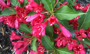 `Red Prince` (weigela florida)