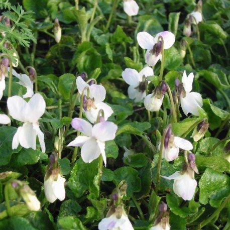 Baltā, smaržīgā vijolīte (viola odorata alba)