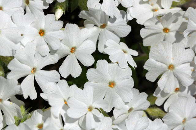 ` White Delight`